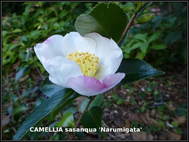 Camellia - floraisons d'automne 503418tuxpicom1414511750