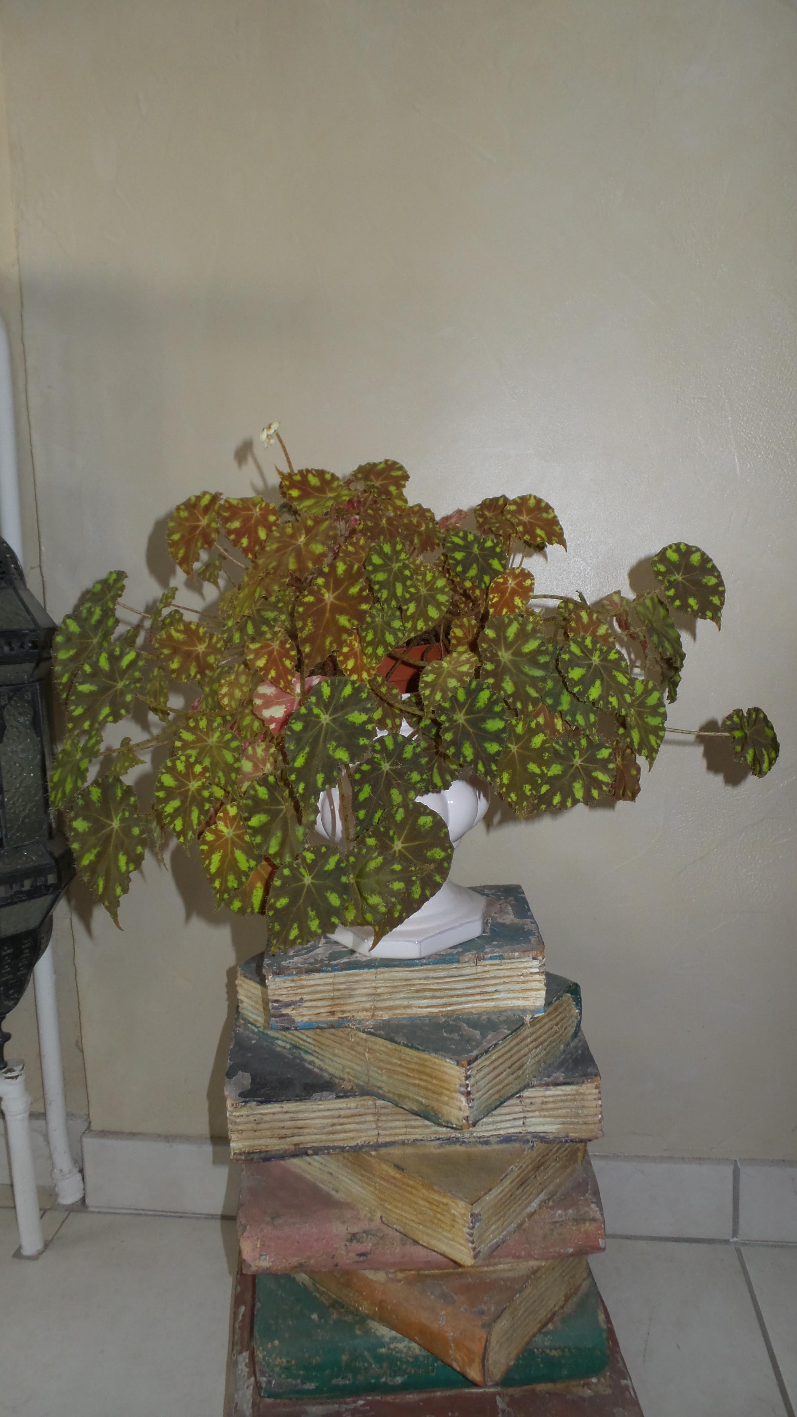 begonia bowerii tiger  - Page 3 50842920170205103939