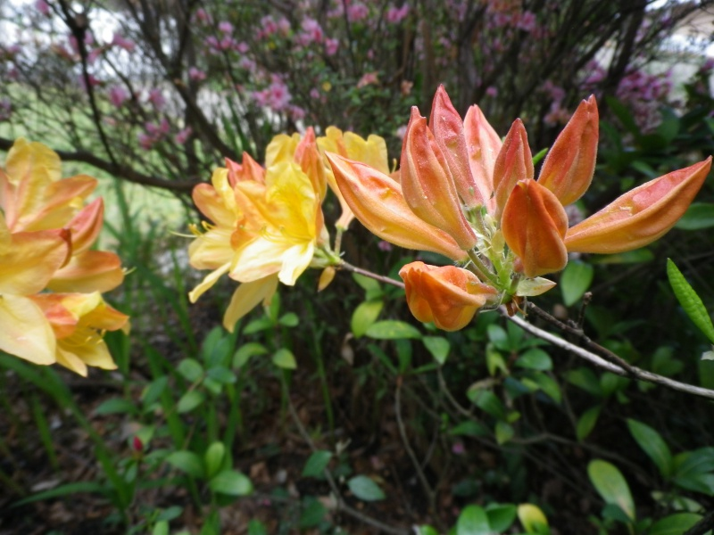avril, jardin fébrile - Page 3 508959IMGP3990