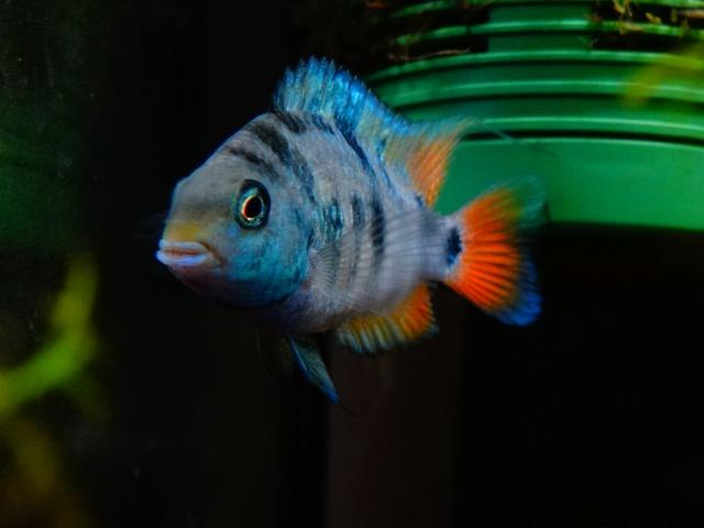 Ma Fish'étagère et les autres  - Page 6 510450DSC07118