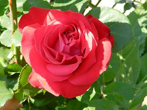 Mes fleurs en ce moment  513438Fleurs019