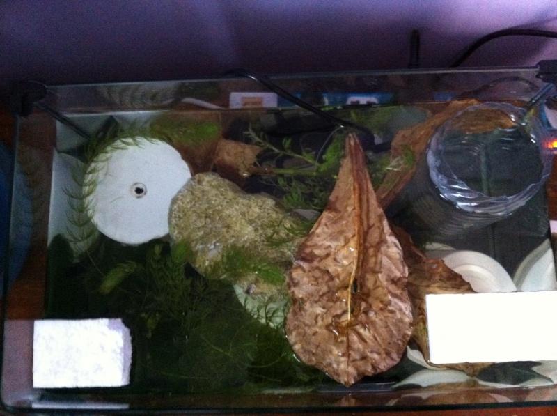 Reproduction male HM multi geno salamander x femelle HM chocolat. 513449bacderepro11