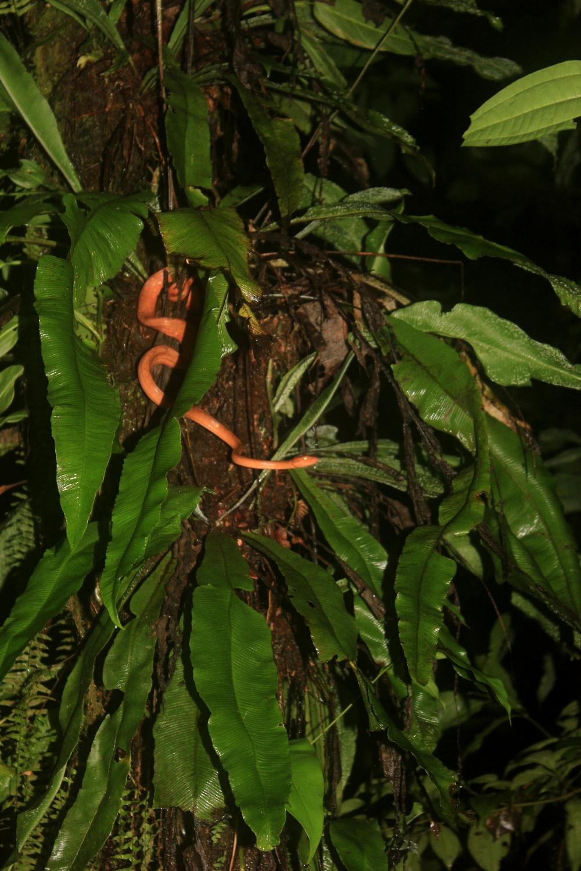 15 jours dans la jungle du Costa Rica - Page 2 514802corallus1r