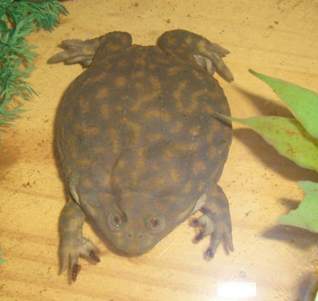 lepidobatrachus leavis 1 an sans manger ??? - Page 2 5164090002770