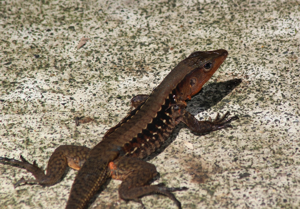 15 jours dans la jungle du Costa Rica 516673ameiva2r