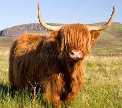 La vache. 517456Highlandcattle