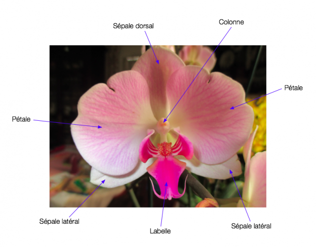 Structure d'une fleur d'orchidée 518078743778Capturede769cran20160315a768001648