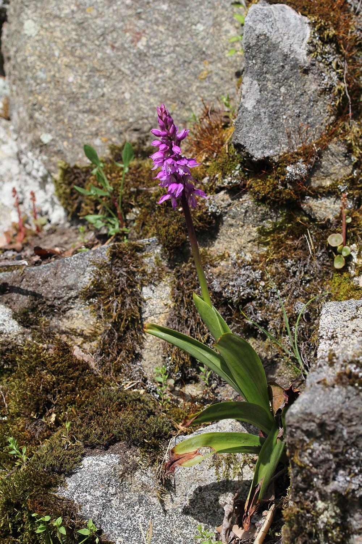 Orchis ichnusae 520954IMG2402forum