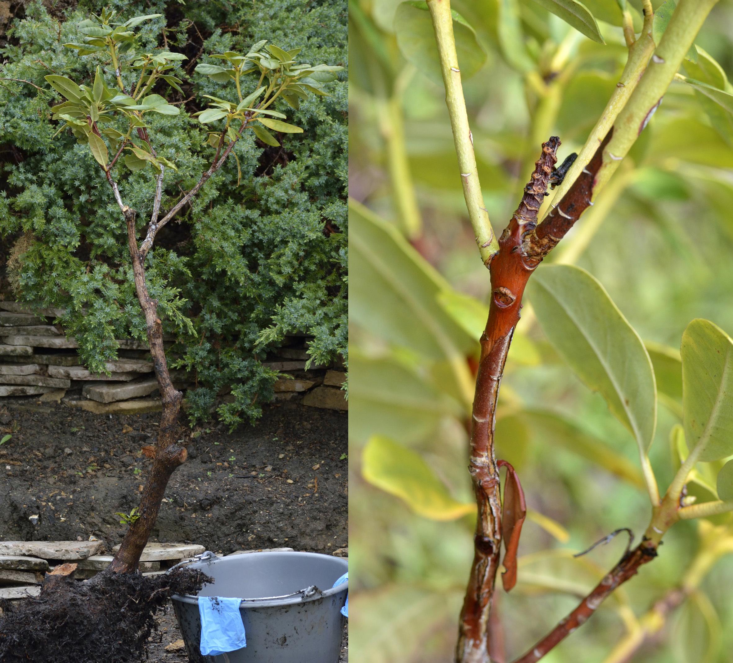 sauvetage d'un Rhododendron 525101DSC1895