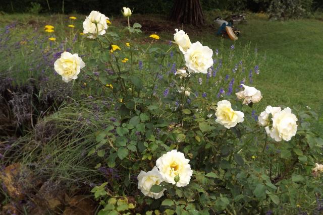 rosier 'Queen Elisabeth' 529558rosierblanc1