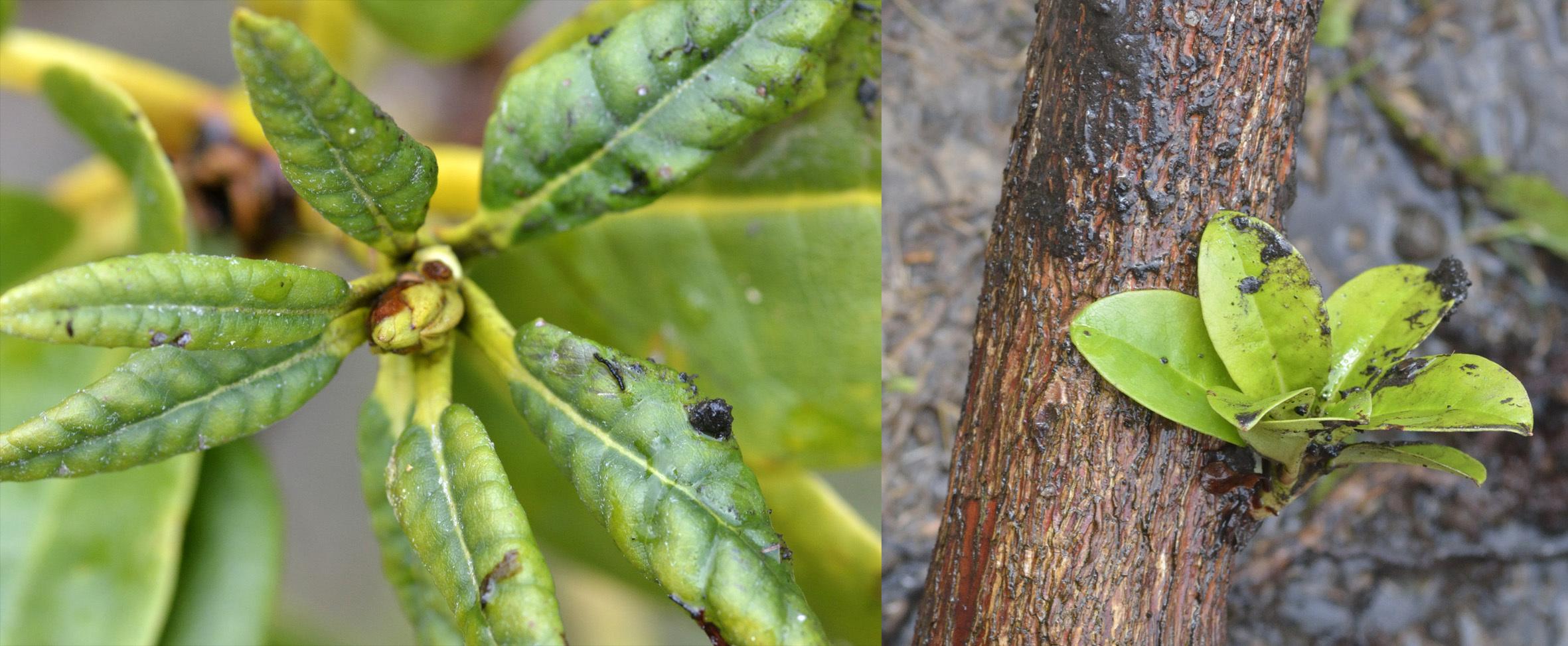 sauvetage d'un Rhododendron 530501DSC1885