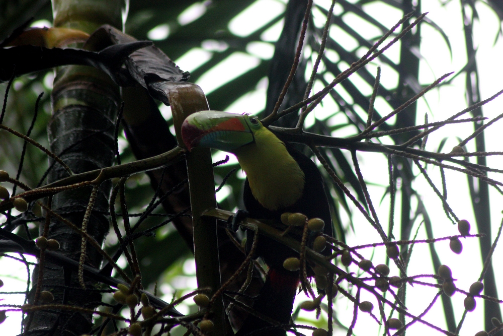 Costa Rica 2015 (Attention long post !!!!) 532578toucan2r