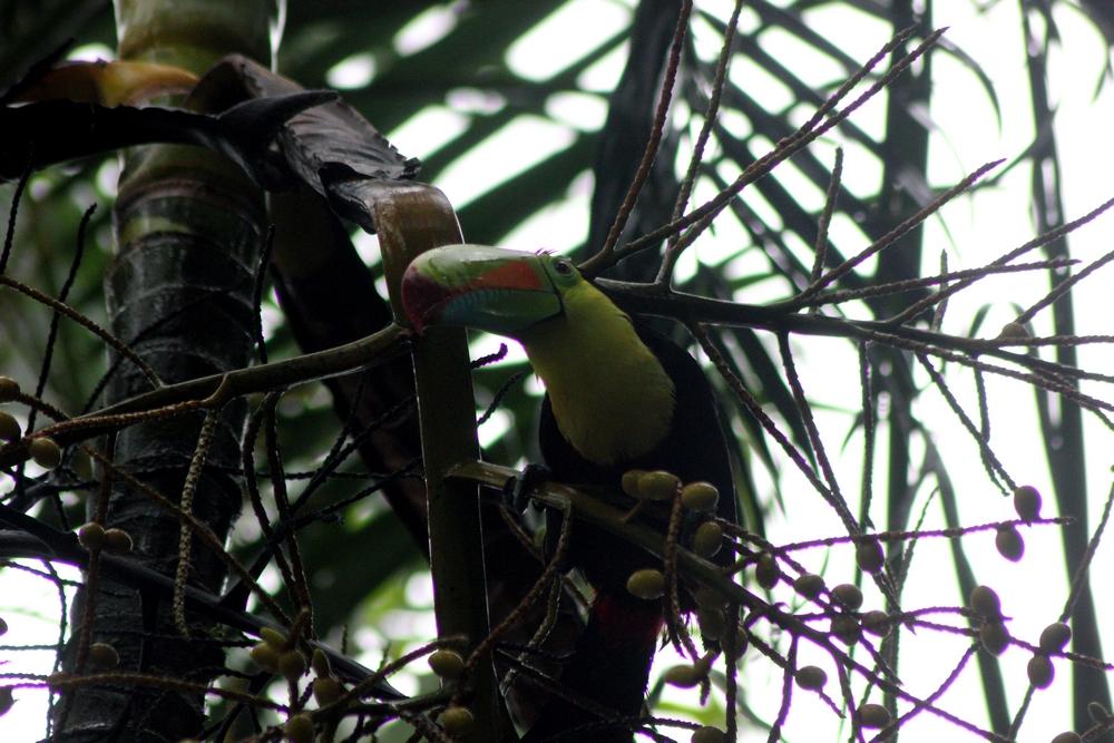15 jours dans la jungle du Costa Rica 532578toucan2r