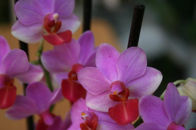 doritaenopsis jia ho cerise x lobbii 534680IMG9655