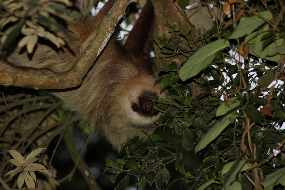 15 jours dans la jungle du Costa Rica - Page 2 534839paressosso4r