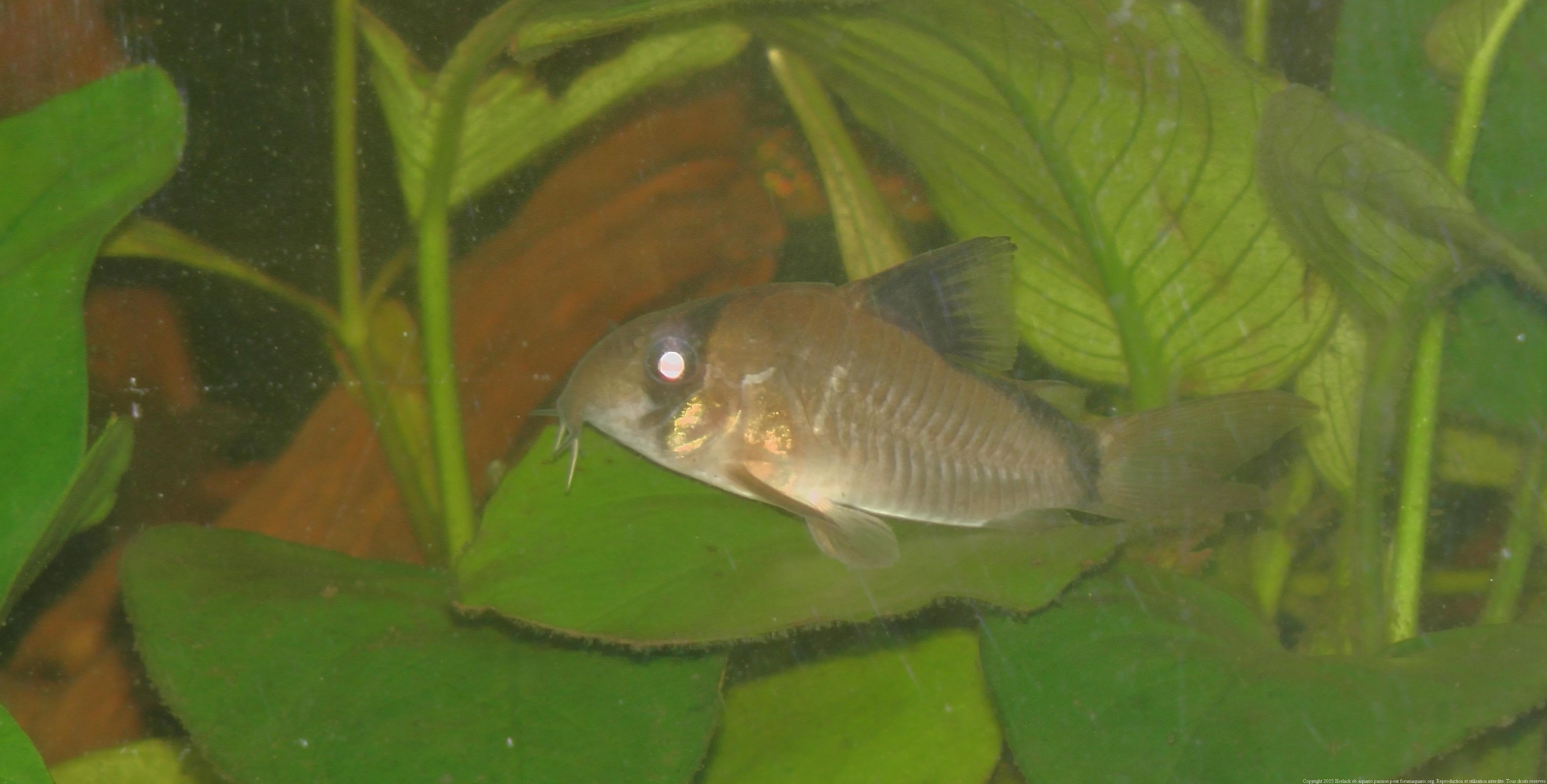 Ménagerie, plus de 3.000L d'aquariums - Page 2 541083CorydorasMetae0019