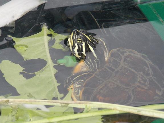 Femelle Pseudemys Nelsoni 545896DSCN59282