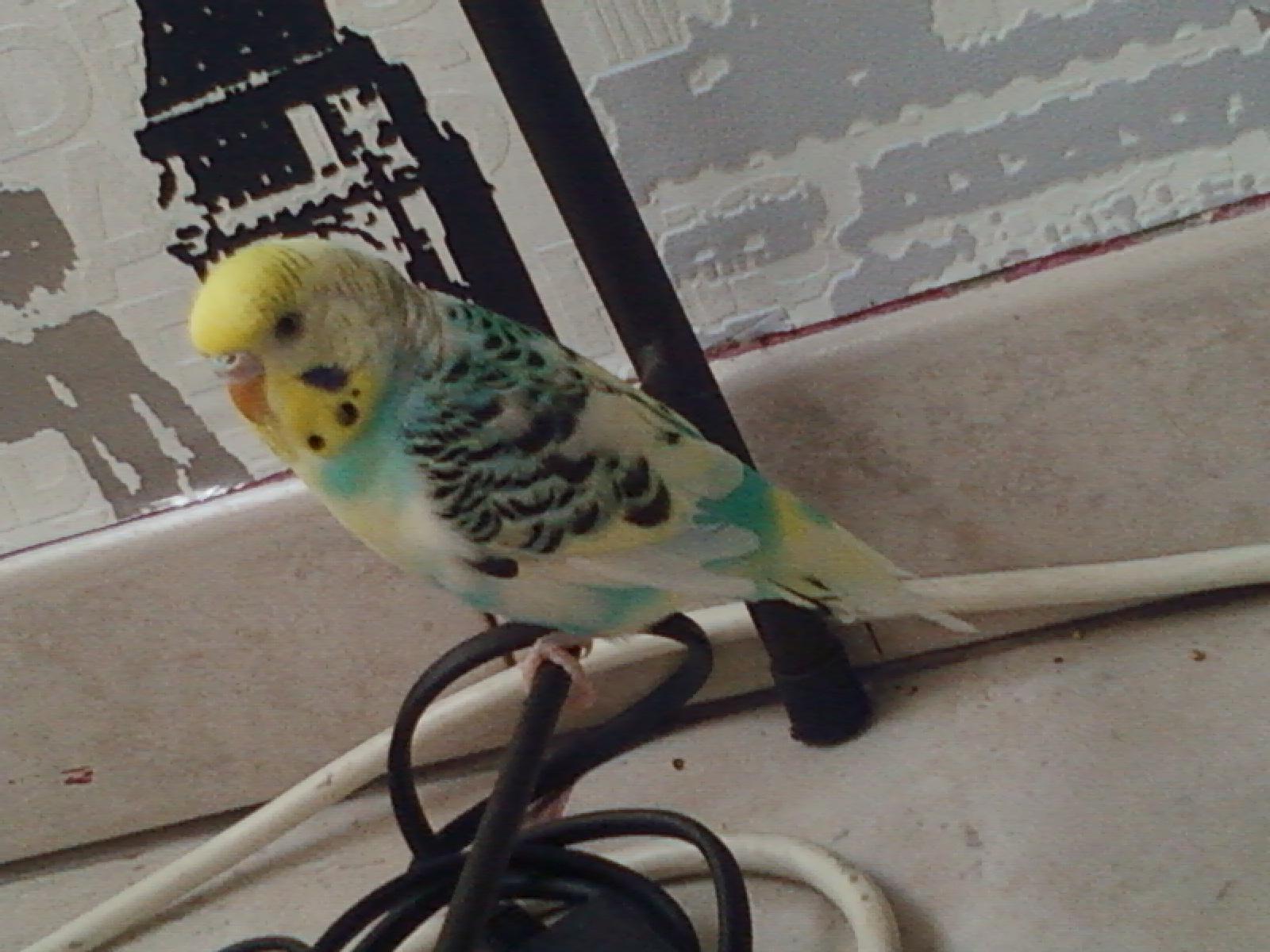 mon oiseaux a pas de queue 547318Photo0012