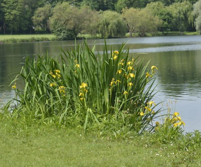 Iris pseudacorus - iris des marais  547790Iris