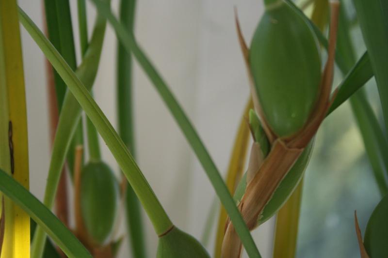 maxillaria tenuifolia  - Page 3 548898IMG9079