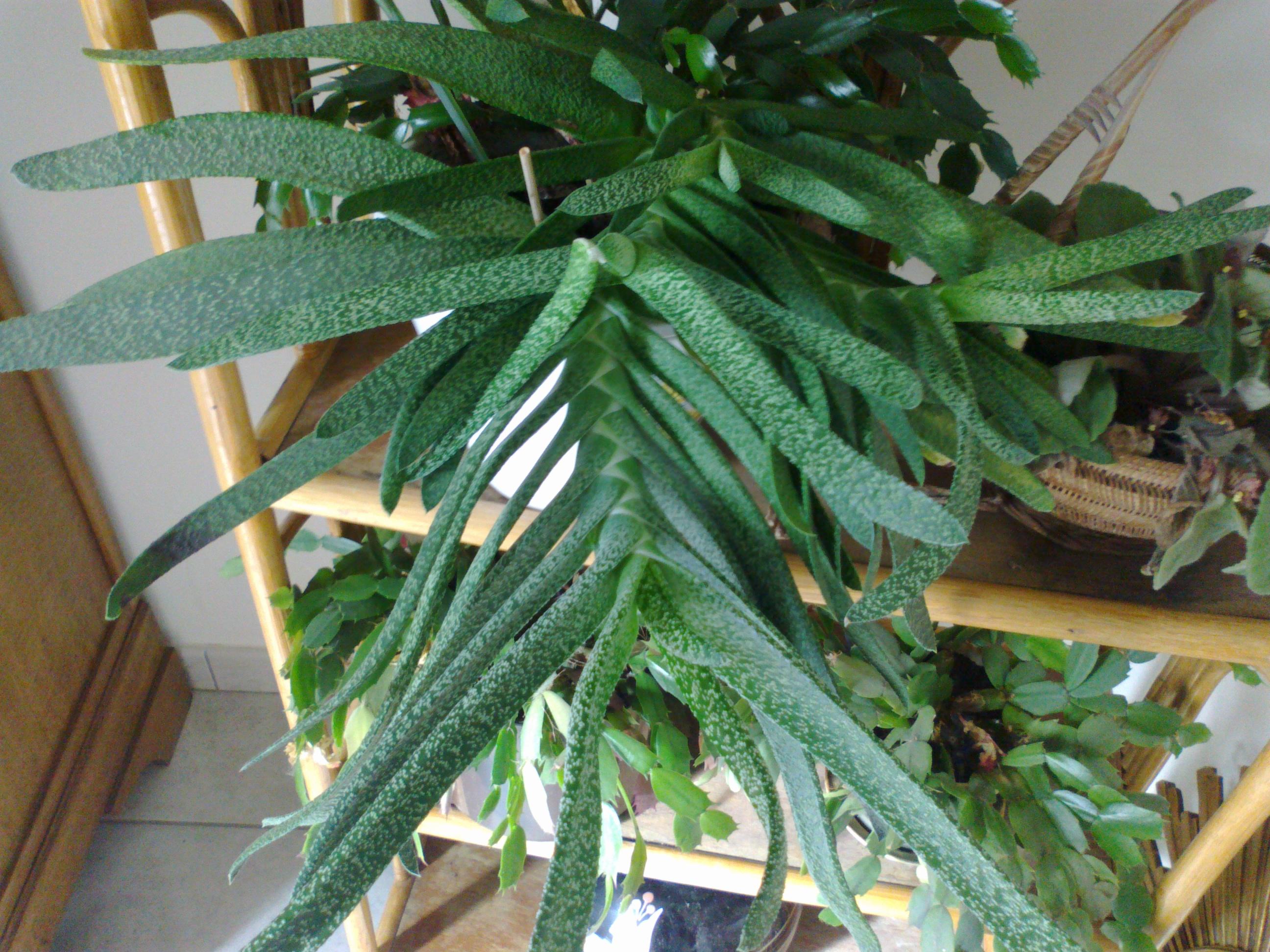 Inconnues identifiées [Gasteria bicolor var bicolor] & [Gasteria carinata var. verrucosa] 55112003032013292