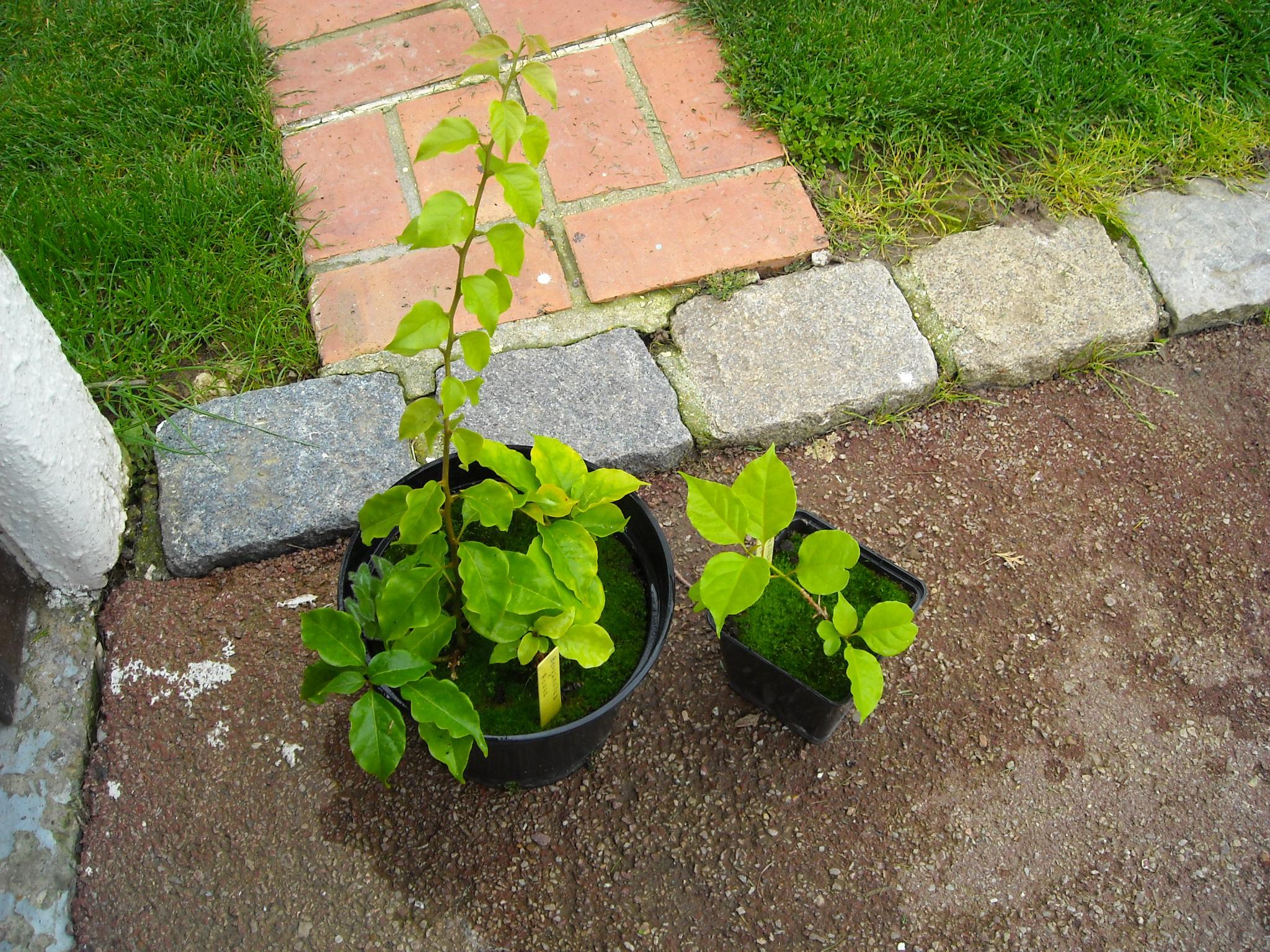 plante que j'ai ramené de chez mon ami Claude 551917plantedeclaude006