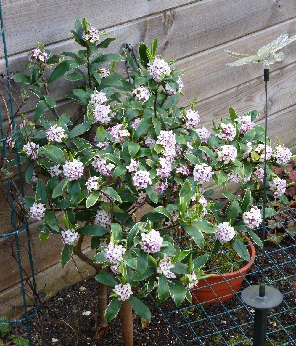 Encore quelques floraisons... 557903P1010667