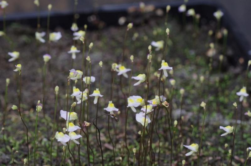 Utricularia Bisquamata 558437IMGP4757