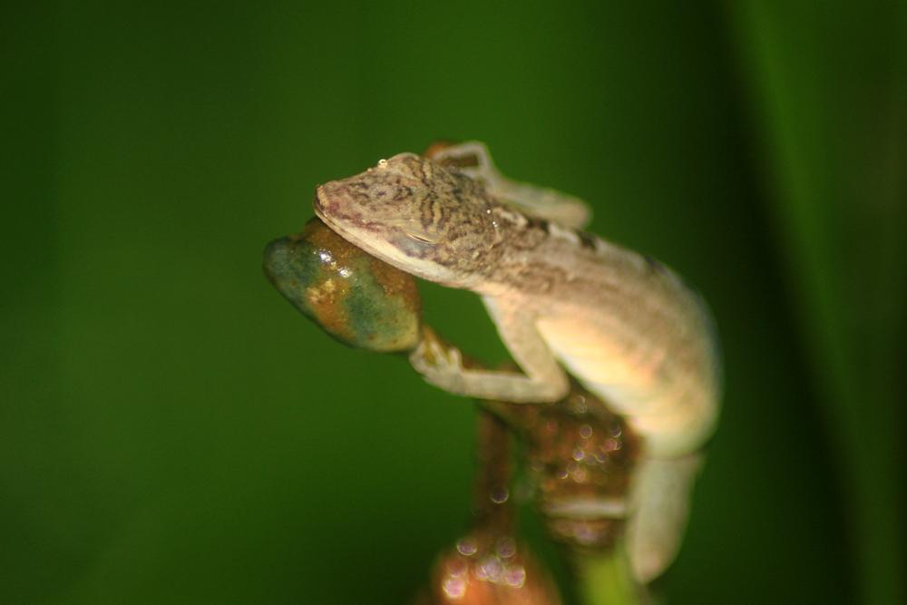 15 jours dans la jungle du Costa Rica 564484anolissleepingr