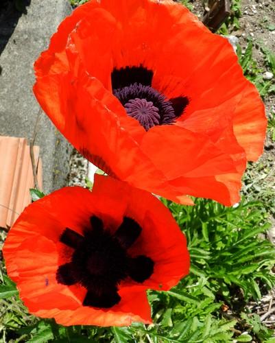 Mes fleurs en ce moment  565127Fleurs001
