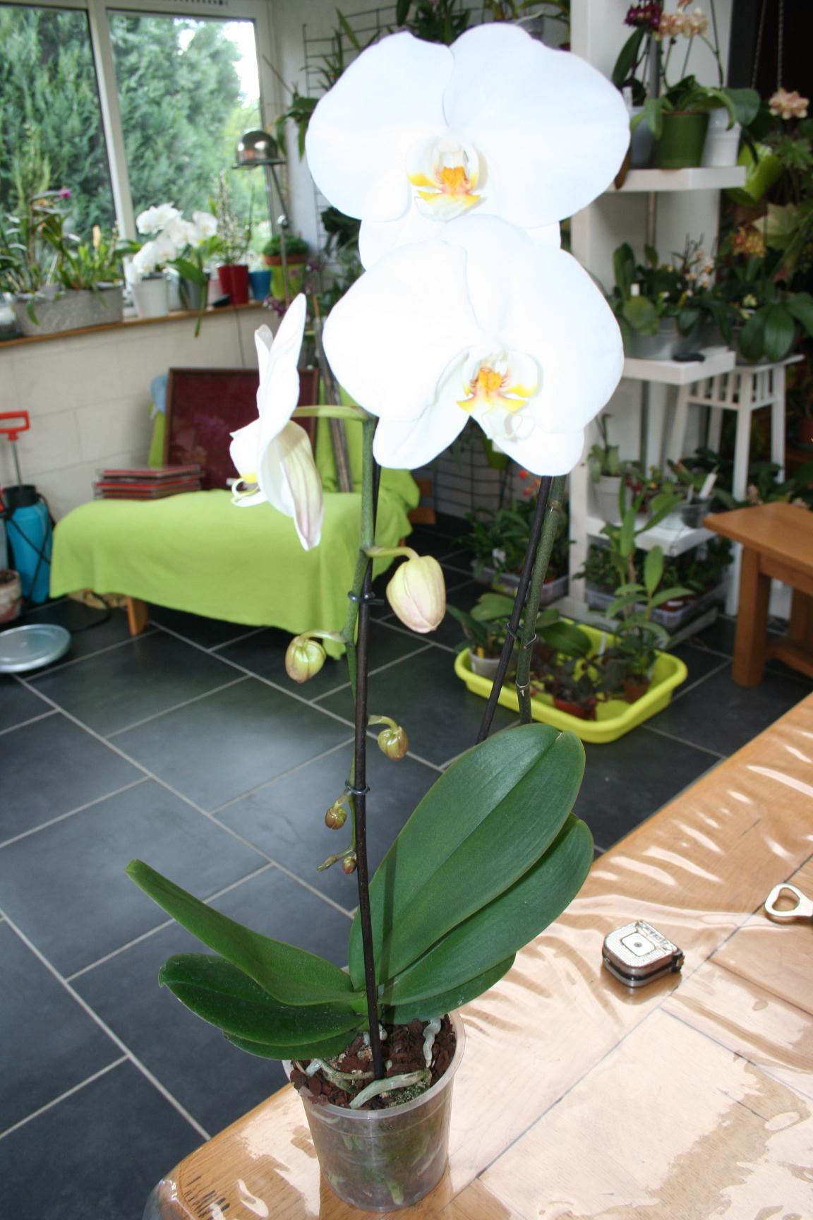 phalaenopsis blanc a grosses fleurs 566954IMG9622