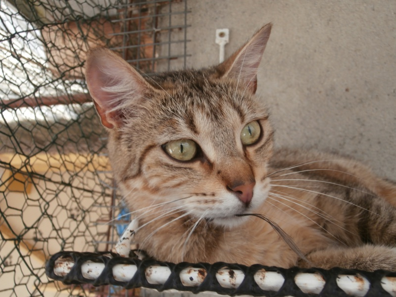 PEPITE (chatte femelle tigrée) 570006P6272884