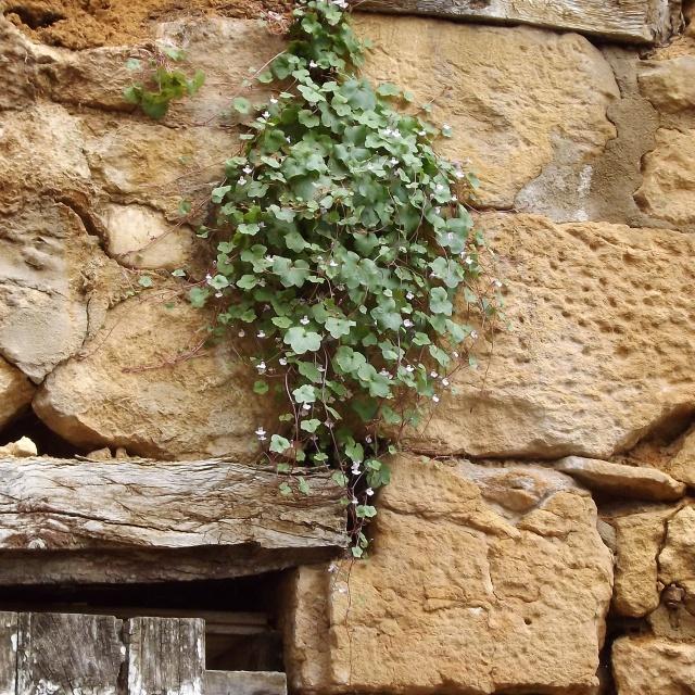 flore des vieux murs, rochers  et rocailles naturelles 570561DSCF0930