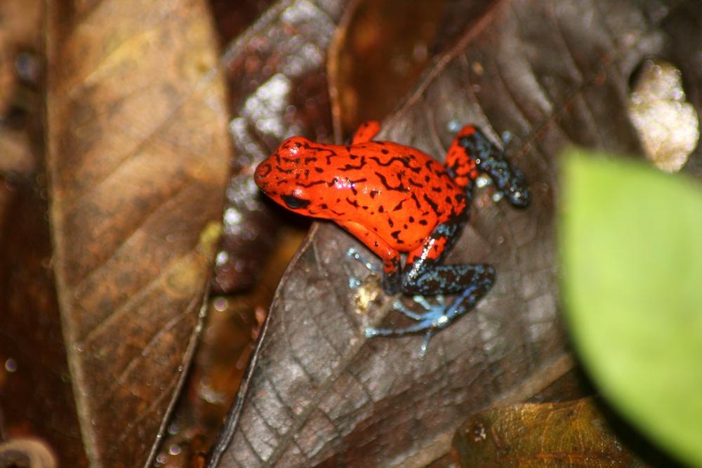 15 jours dans la jungle du Costa Rica - Page 2 572908oophagar