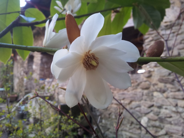 magnolia fairy 57320020160327192932