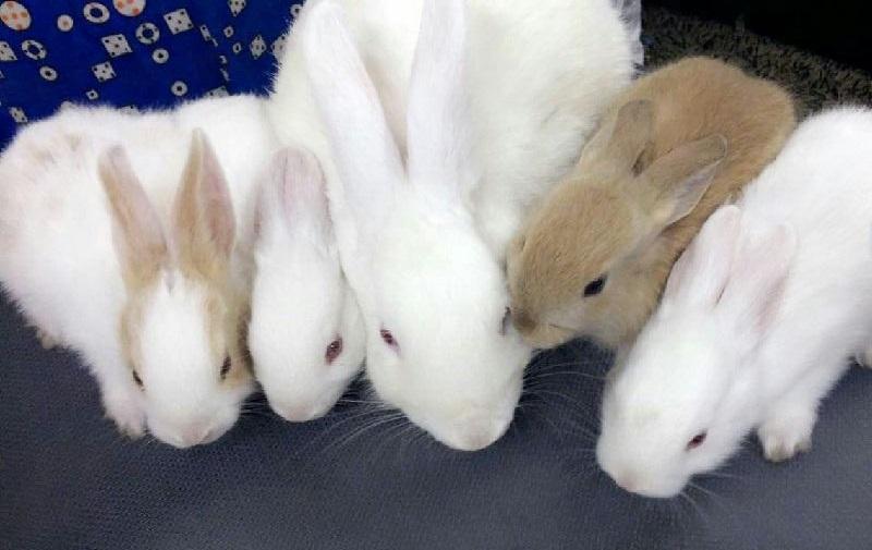 أرانب بلدي جيدة للبيع 577788521