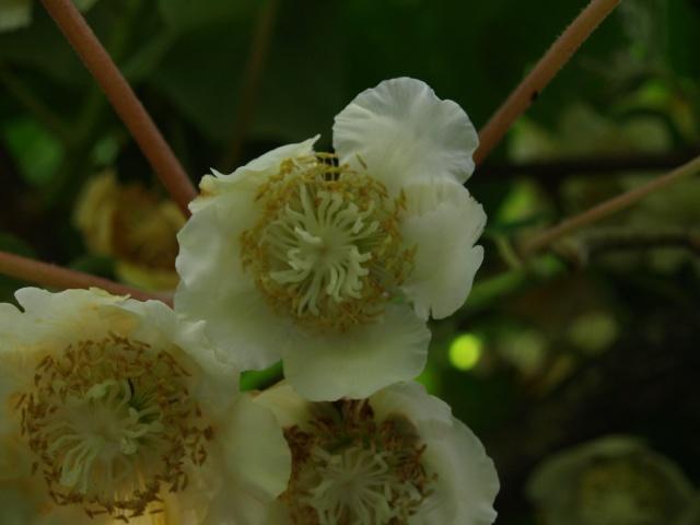 actinidia fruit kiwi - Page 5 580994P6112225