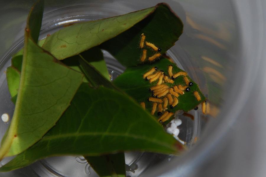 Imbrasia wahlbergi 582781imbrasiasecondgDSC9356