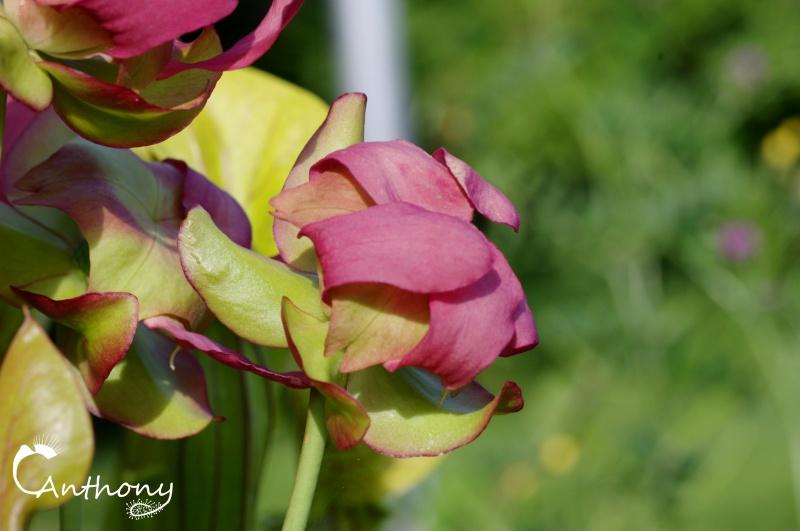 Quelques Sarracenia 585784IMGP5006