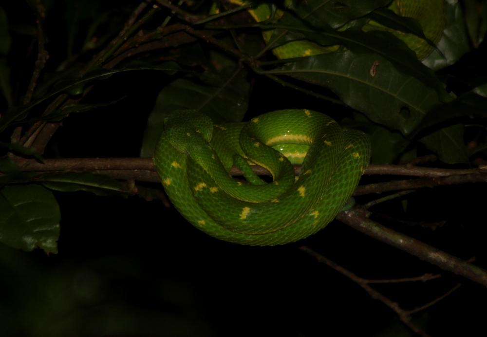 15 jours dans la jungle du Costa Rica - Page 2 588471lateralis13r