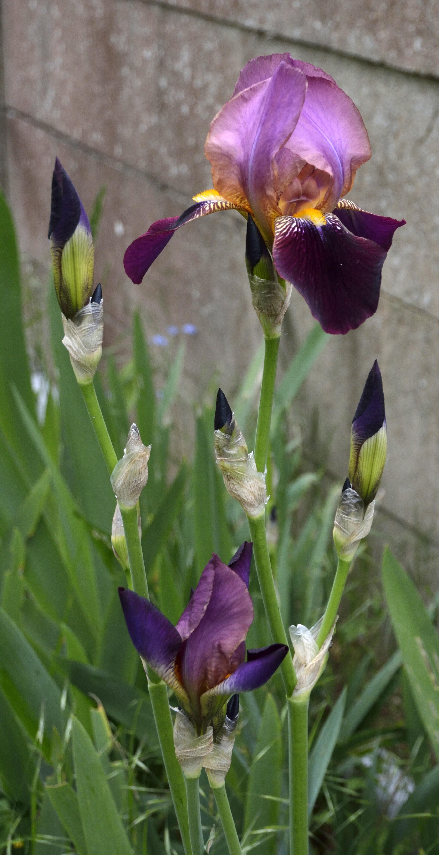 Floraisons 2016 de nos grands iris barbus et Bilan - Page 2 588574DSC2169