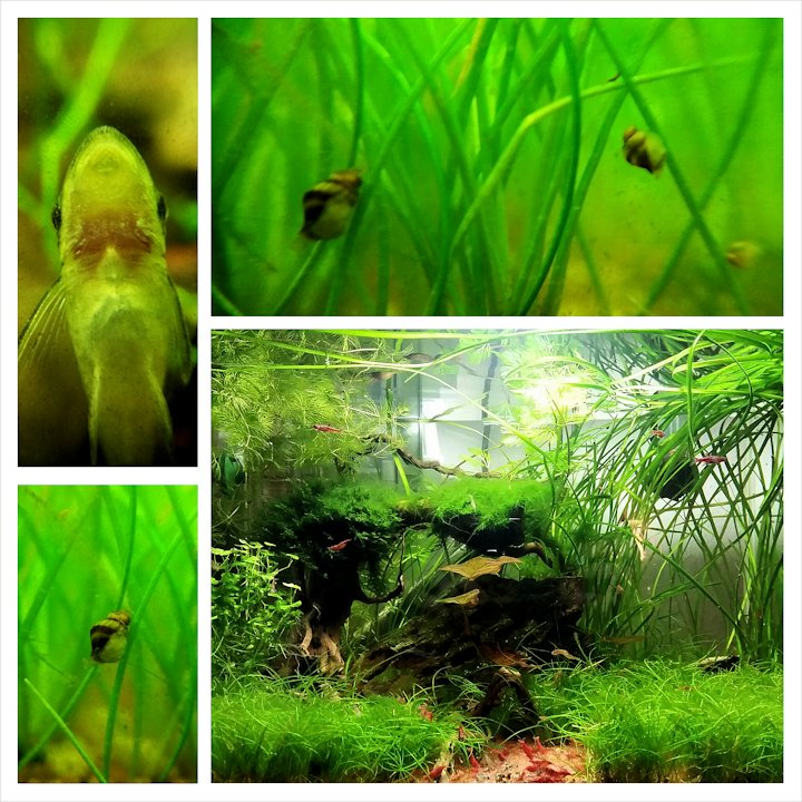 Mon Scaper's Tank 50L Aquascaping - Page 3 589677PhotoGrid1413139311586