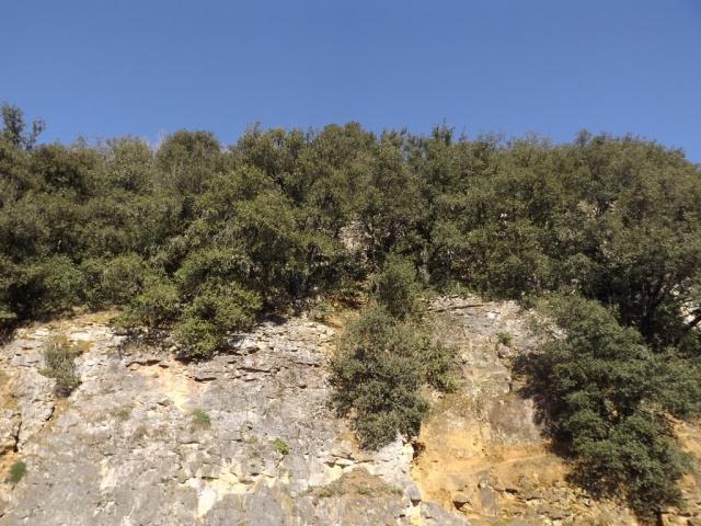 Quercus ilex - chêne vert 591410DSCF50871024x768