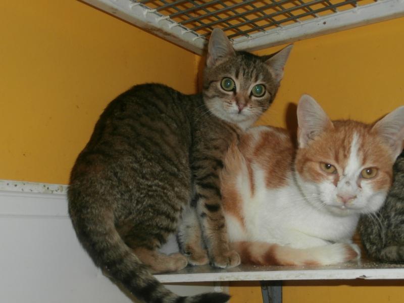FRIMOUSSE (chaton européenne tigrée) 592014PB291790