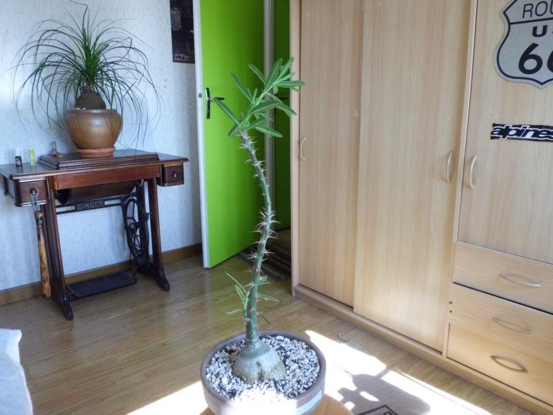 Pachypodium succulentum  - Page 2 592265CIMG4087