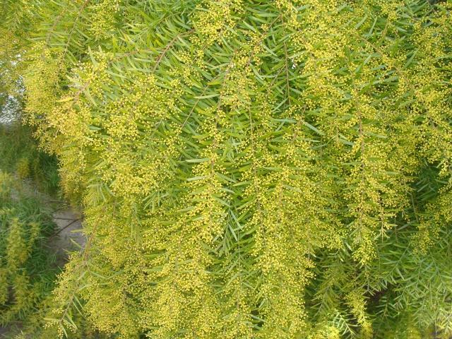 ça commence a fleurir...(Mimosa, Acacia dealbata) - Page 5 595350DSC05254