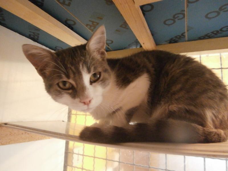 COPAIN (chaton gris et blanc) 595668P9143456