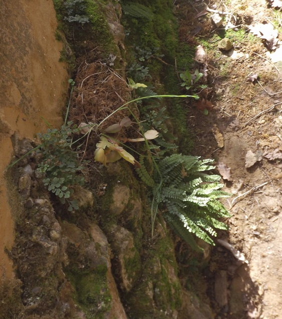 flore des vieux murs, rochers  et rocailles naturelles - Page 4 596065DSCF4892