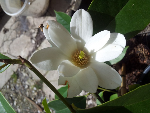 magnolia fairy 59681820150403135512