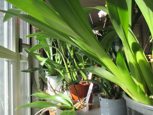 La fenêtre aux orchidées 598836IMG5795